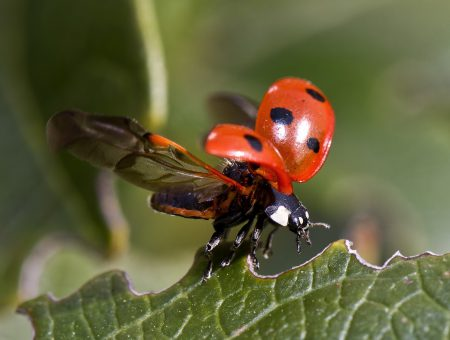 ladybugs-spreading-wings